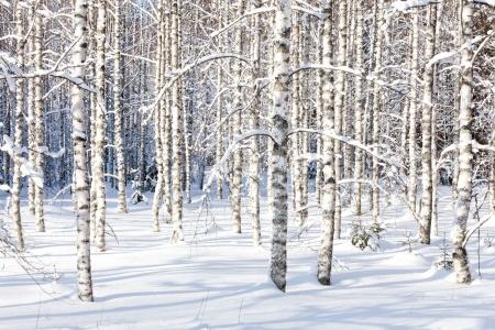 bouleaux_neige