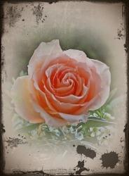 rose_antique